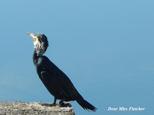 cormorani-2