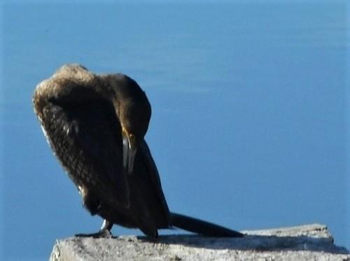 cormorani-3