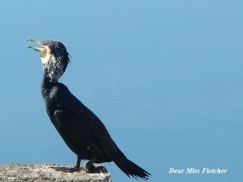 cormorani-5