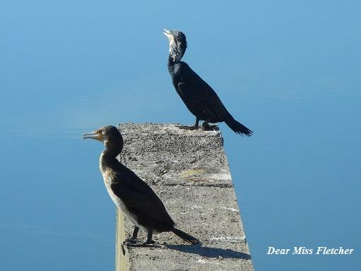cormorani-6